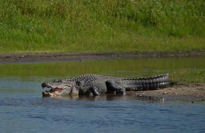 Alligator 06