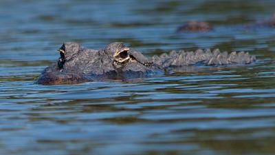 Alligator 22