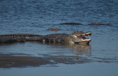 Alligator 07