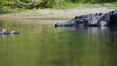 Alligator 20
