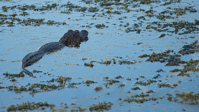 Alligator 11