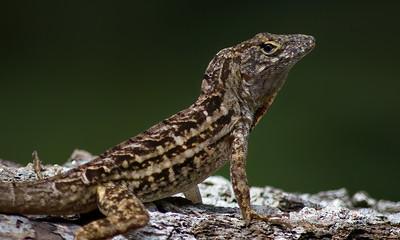 Lizard 02