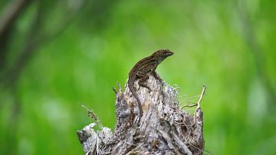 Lizard 07