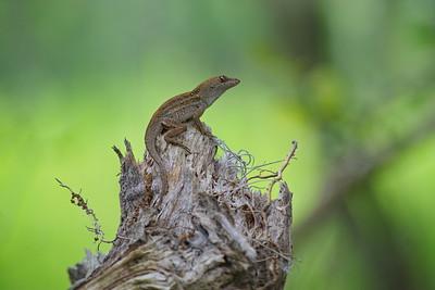 Lizard 08