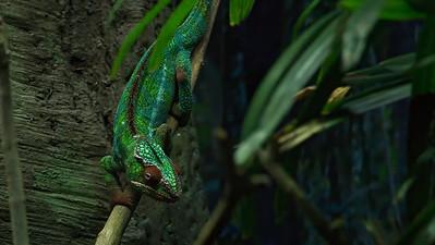 Chameleon 03