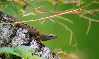 Lizard 04