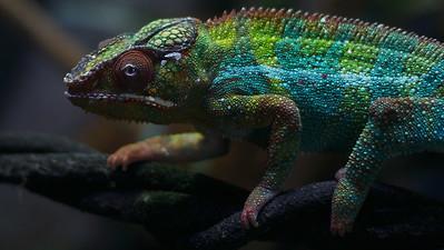 Chameleon 02