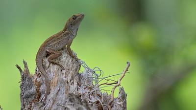Lizard 09
