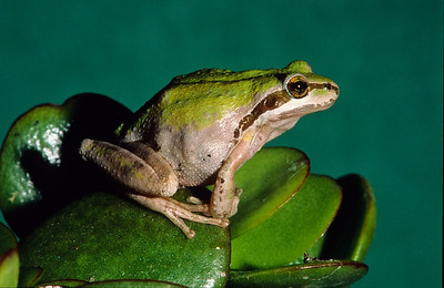 Pacific tree frog.  3666 Bumann road, Olivenhain, California.