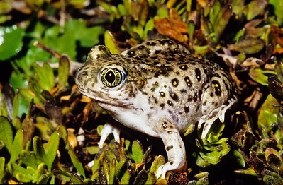 Western Spadefoot toad.   3666 Bumann road, Olivenhain, California.