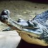 Crocodile.  San Diego Zoo, San Diego, California.