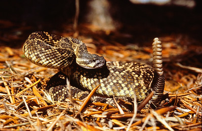 Southern Pacific rattlesnake.  3666 Bumann road, Olivenhain, California.