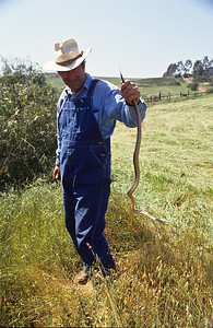 Gopher snakes are common in San Diego county and should not be distroyed.  3666 Bumann road, Olivenhain, California.