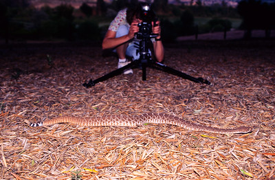 Twink photographing a large red diamond rattlesnake. 3666 Bumann road, Olivenhain, California.