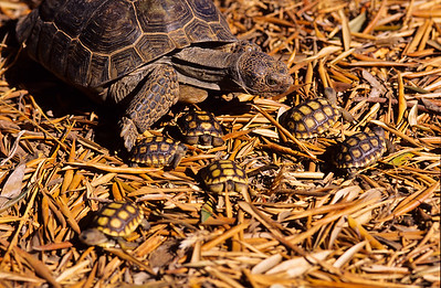 For size comparison, here is the female and the day old hatchlings.  California desert tortoise. 3666 Bumann road, Olivenhain, California.