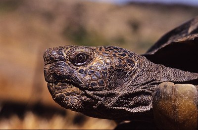 California desert tortoise.  Tola has produced about fifty offsprings.   3666 Bumann road, Olivenhain, California.