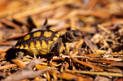 Day old California desert tortoise.   Notice the point under the nose.  This is used when breaking out of the egg.  It will disappear in about a month.  3666 Bumann road, Olivenhain, California.