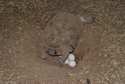 Four to eight eggs are laid then carefully covered with loose earth.  3666 Bumann road, Olivenhain, California.