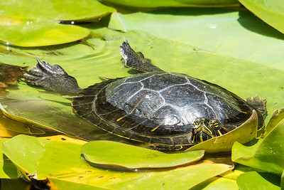 Red-eared slider turtle in pond.  San Diego Botianic Garden.  July 2017