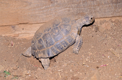 In late spring or early summer, the female desert tortoise will dig a nesting hole.  3666 Bumann road, Olivenhain, California.