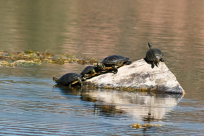 Red eared slider turtles in lagoon.  Dead Horse state park, Cottonwood, Arizona.