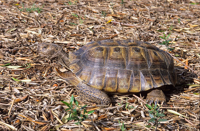 California desert tortoise.  This is the male we have had since 1977.  His name is Tola.  3666 Bumann road, Olivenhain, California.