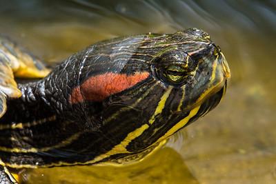 Red-eared slider turtle in pond.  San Diego Botianic Garden.  July 2017