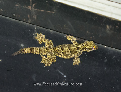 Kuhl's Gliding Gecko