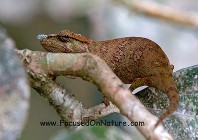Big Nose Chameleon