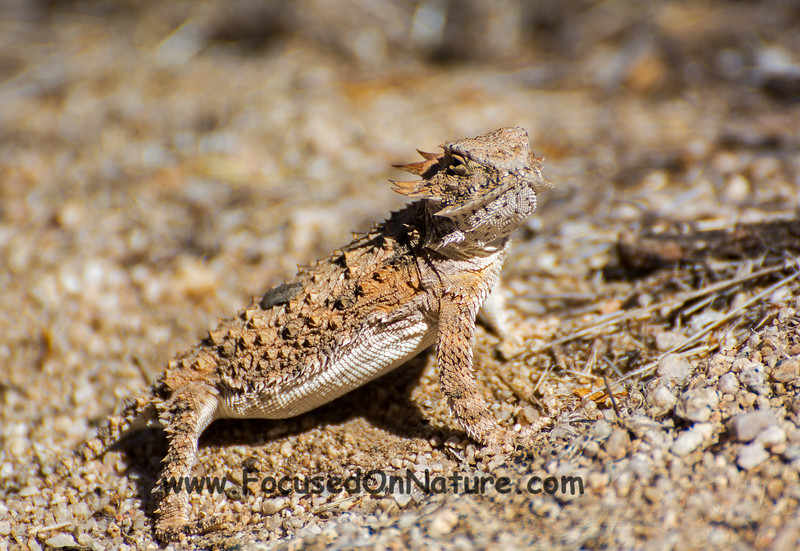 Regal Horned Lizard