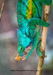 Parson's Chameleon Up Close