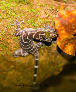 Giant Bent-toed Gecko