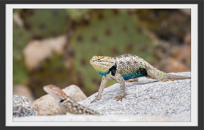 Desert Spiny Lizards