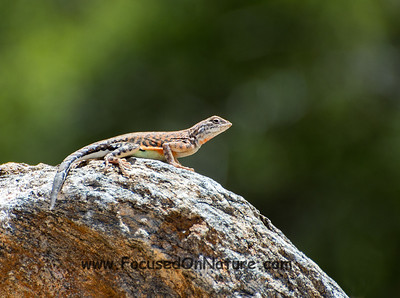 Female Greater Earless Lizard