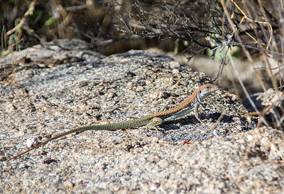 Giant Spotted Whiptail