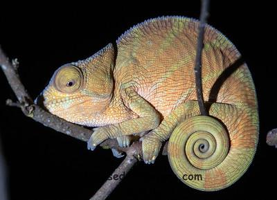Parson's Chameleon Side 2