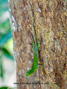 Green Tree Lizard