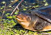 soft shelled turtle