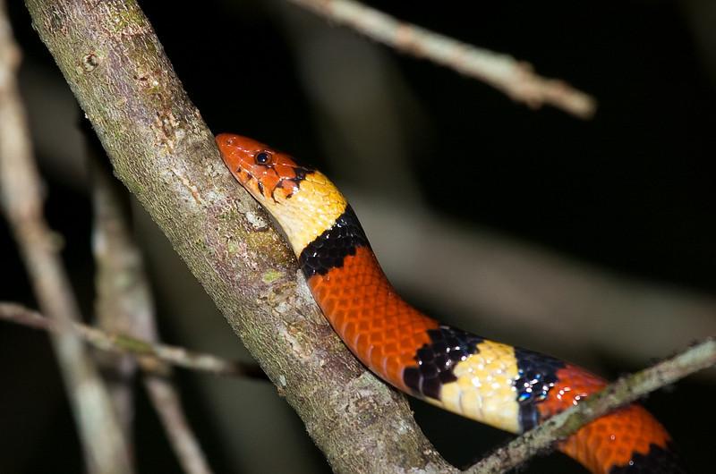 scarlet king snake