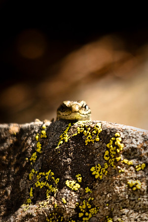 Pyrenean rock lizard
