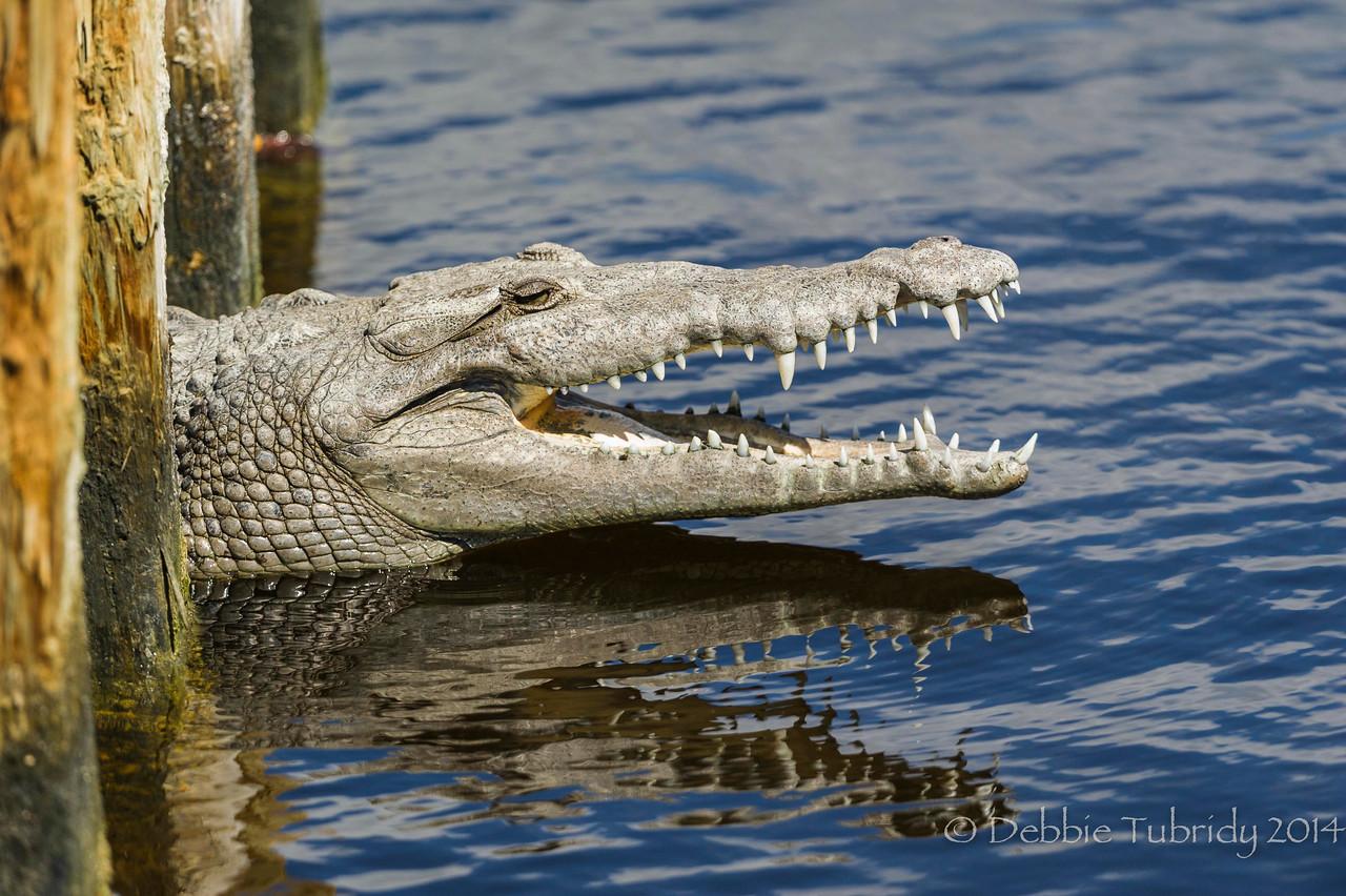 Pearly Whites American Crocodile Flamingo Marina, Everglades National Park, Florida © 2014