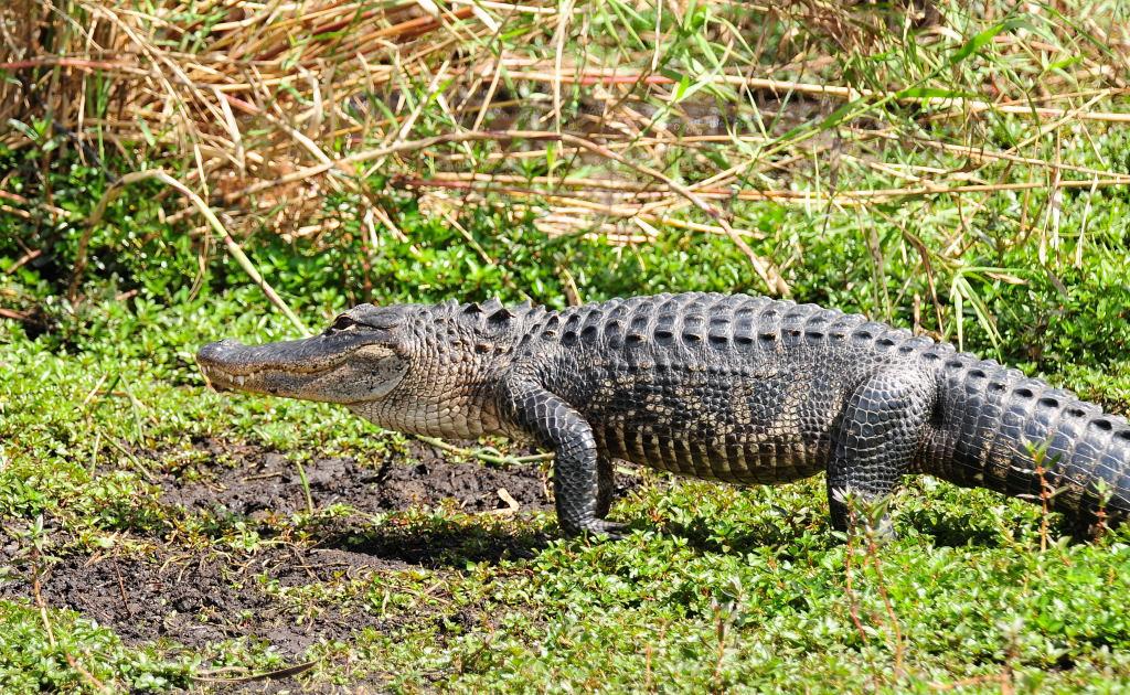 Alligator on the Move Anhinga Trail,  Everglades National Park Florida © 2009