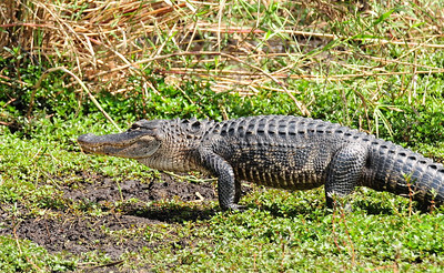 Alligator on the Move Anhinga Trail,  Everglades National Park Florida © 2009