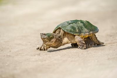 Snapping Turtle Orlando Wetlands Park Orlando, Florida © 2014