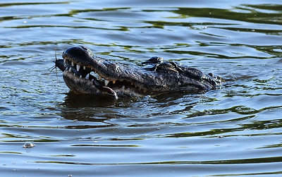 Alligator catches dinner Anhinga Trail,  Everglades National Park Florida © 2009