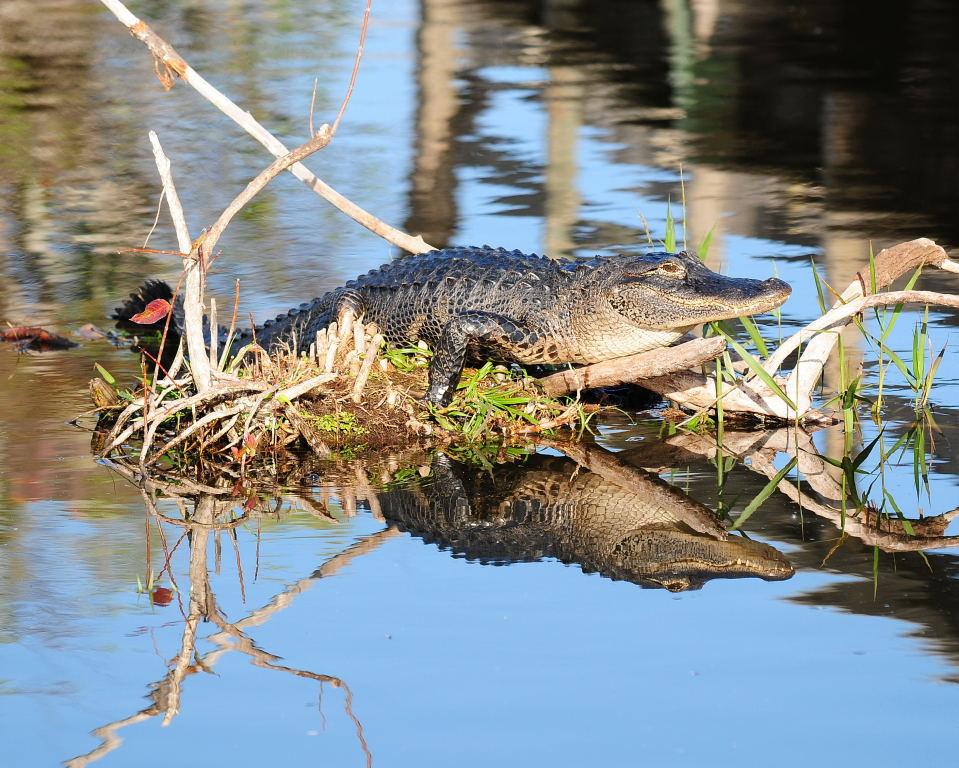 Florida Alligator Reflections Anhinga Trail,  Everglades National Park Florida © 2009