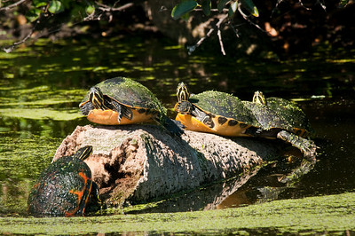 Turtles on a log Green Cay Wetlands Boynton Beach, Florida © 2010