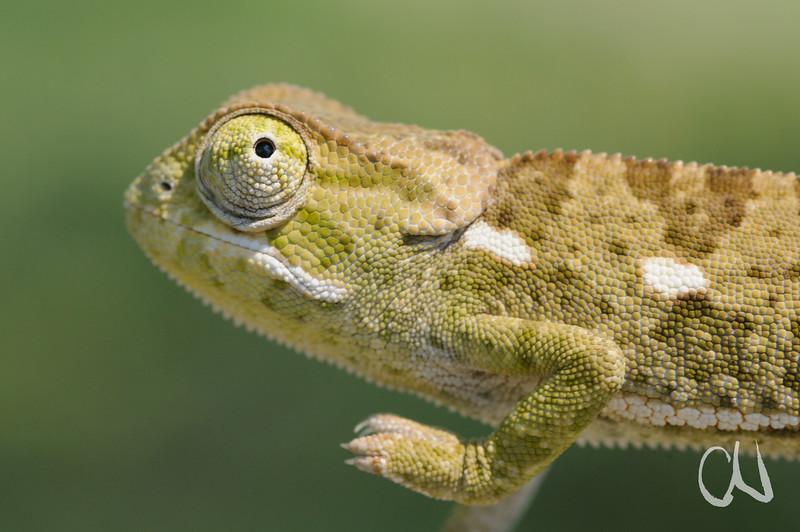 Lappenchamäleon, Chamaeleo dilepis, Thalamakane River, Maun, Okavango-Delta, Botswana, [en] Flap-necked chameleon, Botsuana