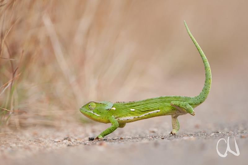Lappenchamäleon, Krüger Nationalpark, flap-necked chameleon, Chamaeleo dilepis, Kruger National Park, Südafrika, South Africa