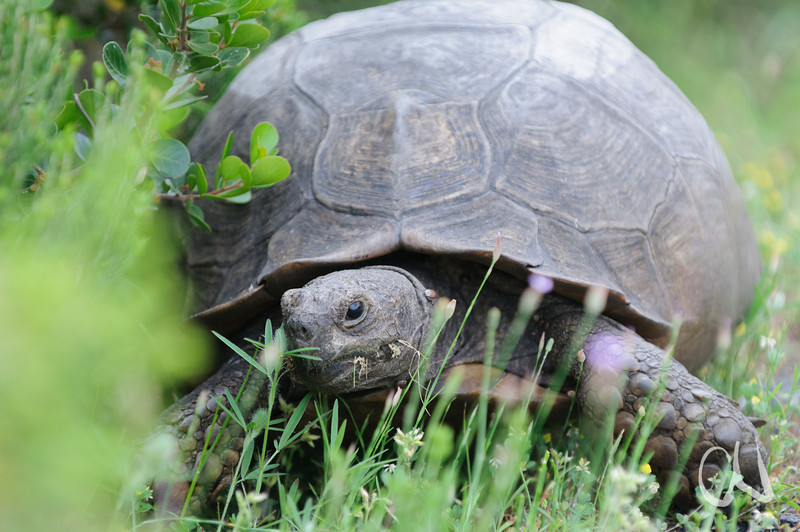 Landschildkröte, Olifantsbos, Table Mountain National Park, Tafelberg Nationalpark, Cape of Good Hope Nature Reserve, Kap der Guten Hoffnung, South Africa, Südafrika